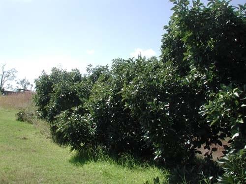 Guacamole  trees